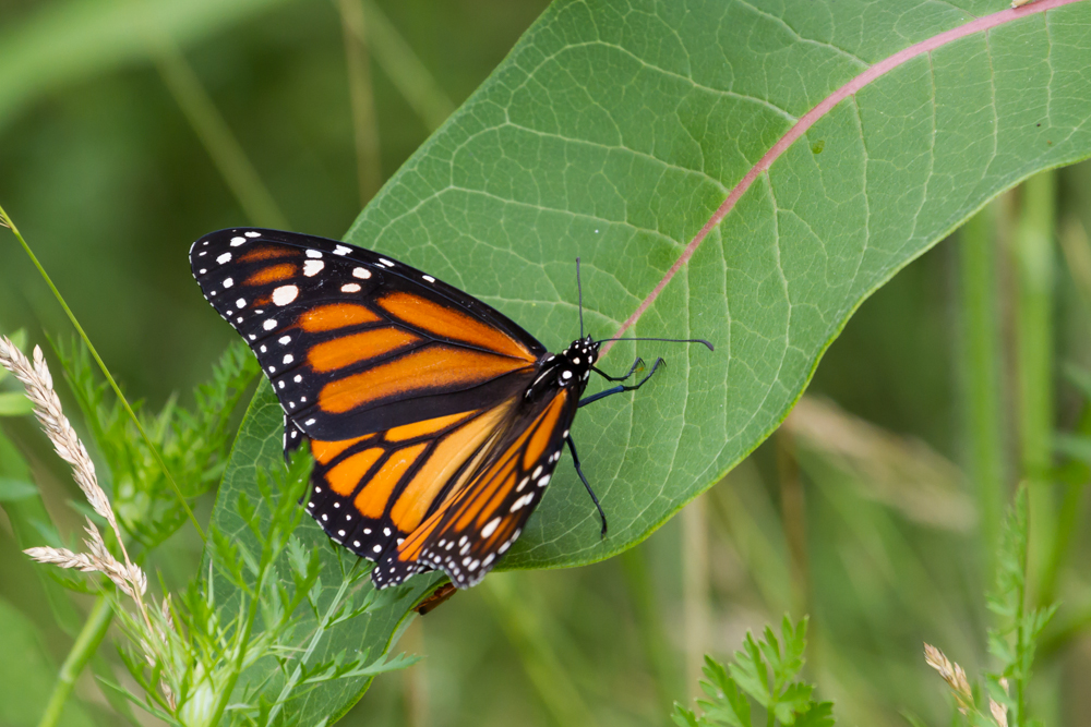 Monarch Butterfly on a Common Milkweed leaf.