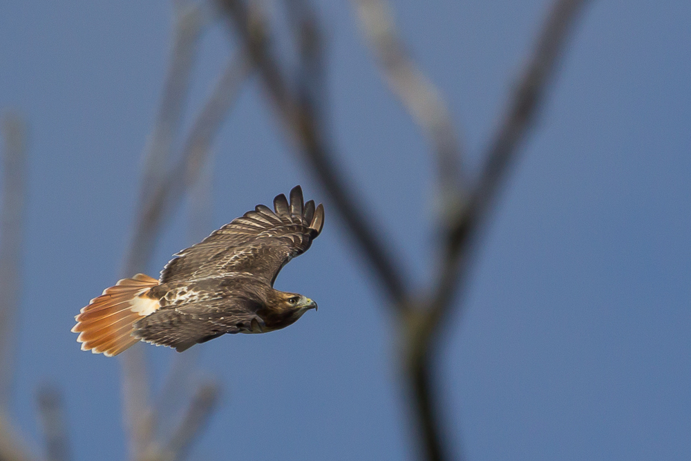 The red tail for which this hawk is named is most visible from the topside.