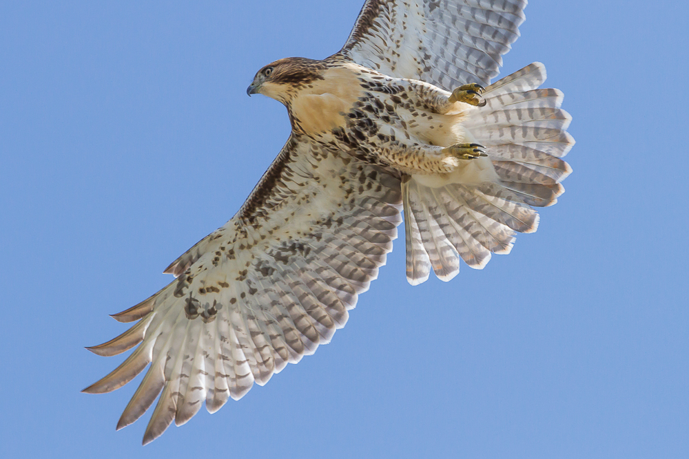 Hawkwatch in Port Stanley, Ontario attracts thousands of birders to the area looking to view the many migrating raptors.