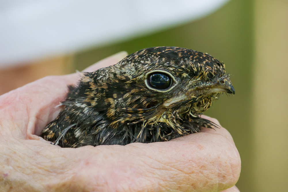IMG 9818 1 - An Incredible Day Releasing A Common Nighthawk With Swift Care Ontario