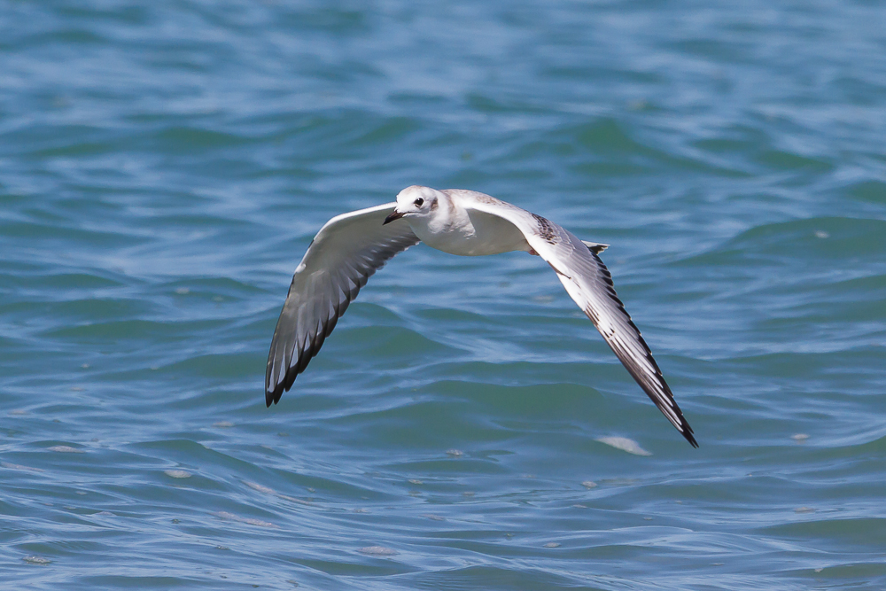 Bonaparte's Gulls were among the species using the north winds to propel them along the shoreline.