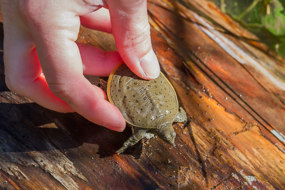 The young turtles being released are about the size of a loonie; the females can grow to be more than 45cm in length.