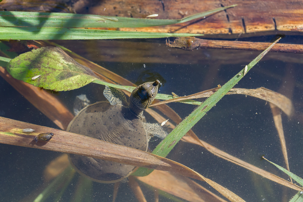 This particular turtle paused briefly on the surface before diving to the bottom of the river.