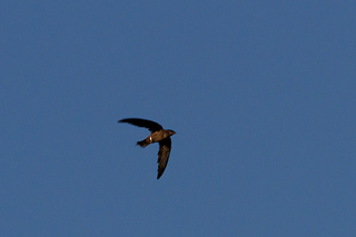 IMG 1168 11 - An Incredible Journey For Three Young Chimney Swifts