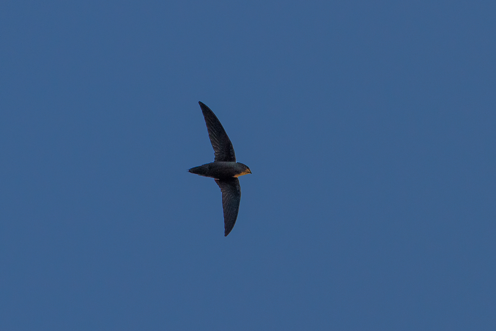 As time passed, only a lone wild Chimney Swift could be seen circling. We were left wondering where were the 400 from the previous night?
