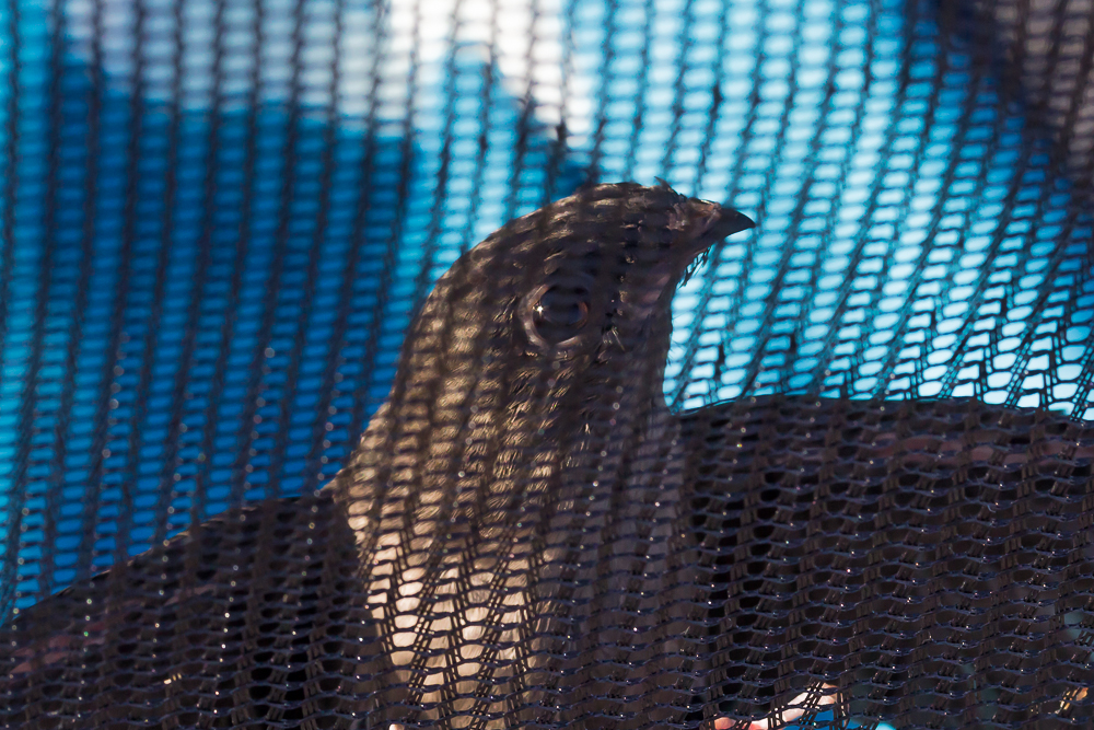 Chimney Swifts are transported in special soft mesh carriers ensuring no wing or feather damage is incurred in transit.