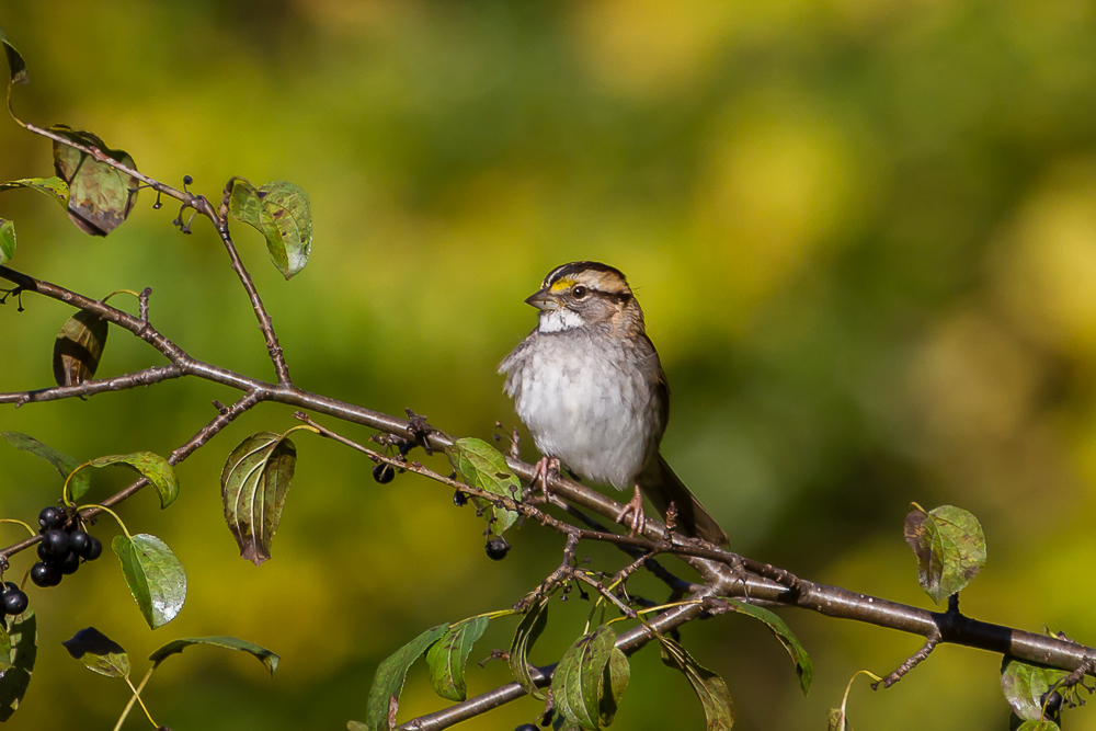 White-throated Sparrows are another species that overwinter in our area. Like other species, these birds can now be observed throughout the city.