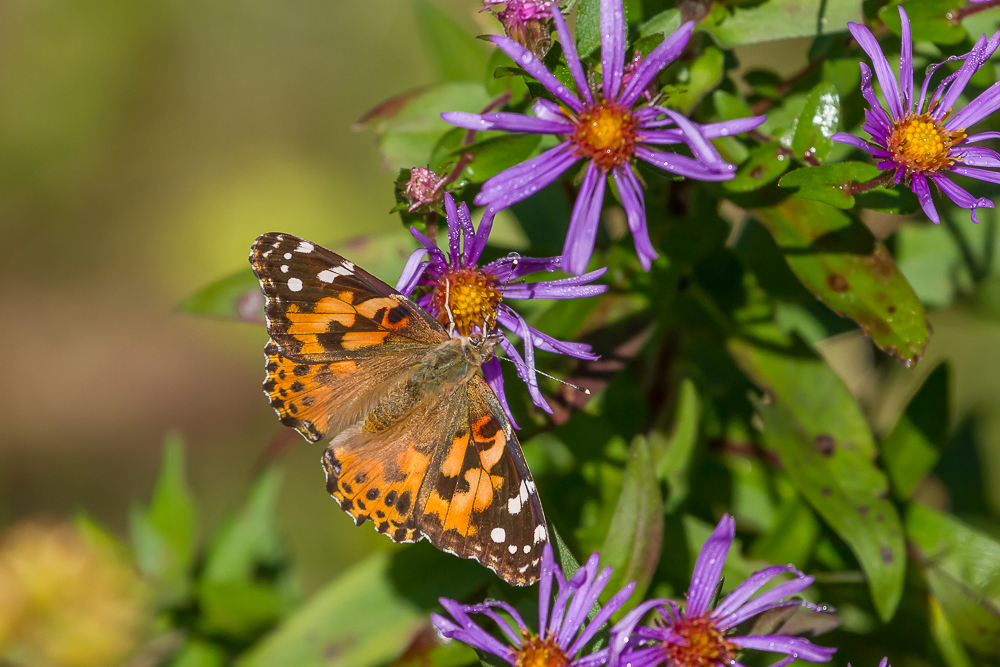 Painted Lady Butterfly feeding on the nectar of a New England Aster.