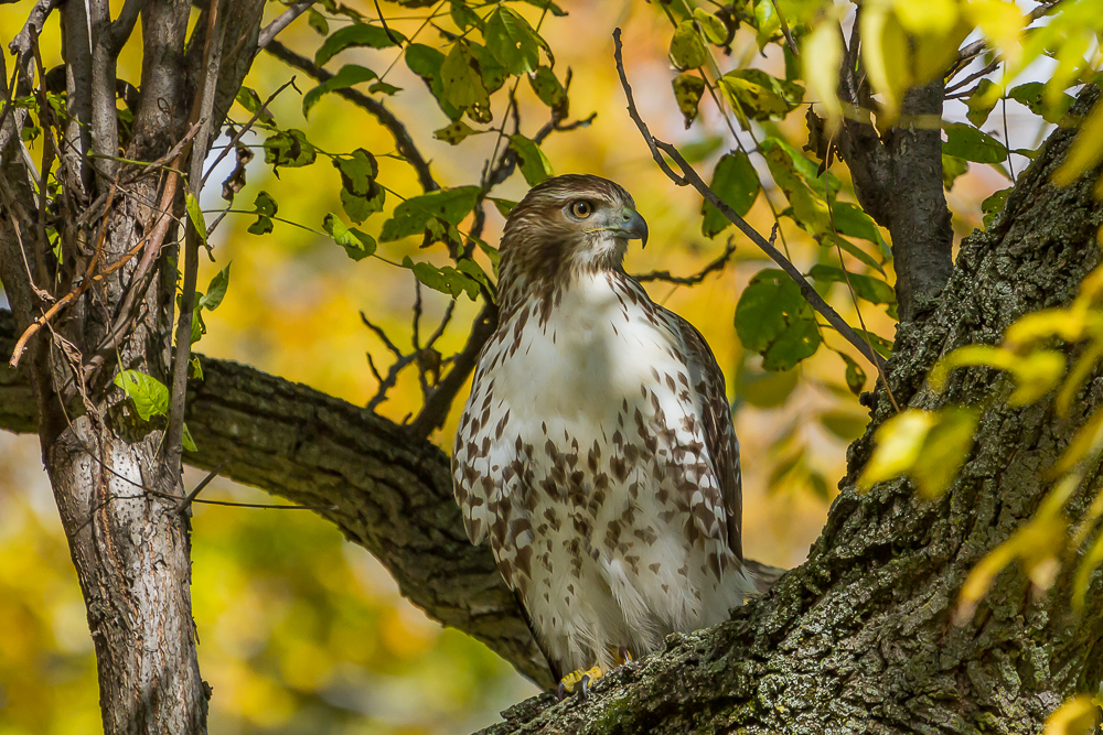 Red-tailed Hawks were observed in various locations around the city.