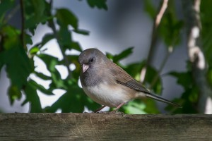 My first Dark-eyed Junco of the fall was seen Thanksgiving weekend in my backyard