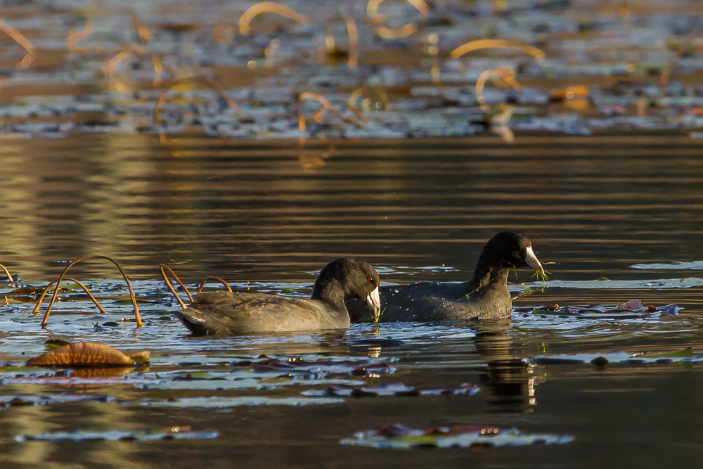 IMG 3171 1 - American Coots On Saunders Pond