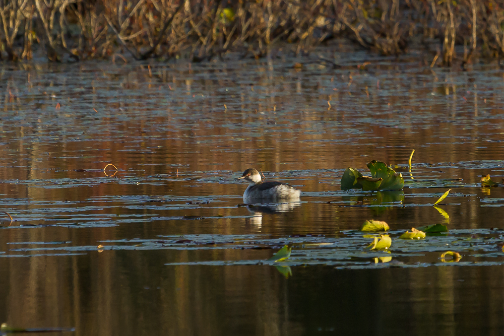 IMG 3181 1 - American Coots On Saunders Pond