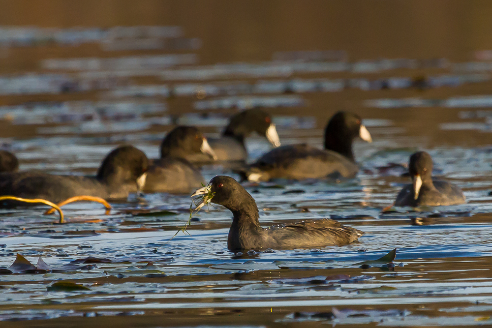 IMG 3211 1 - American Coots On Saunders Pond