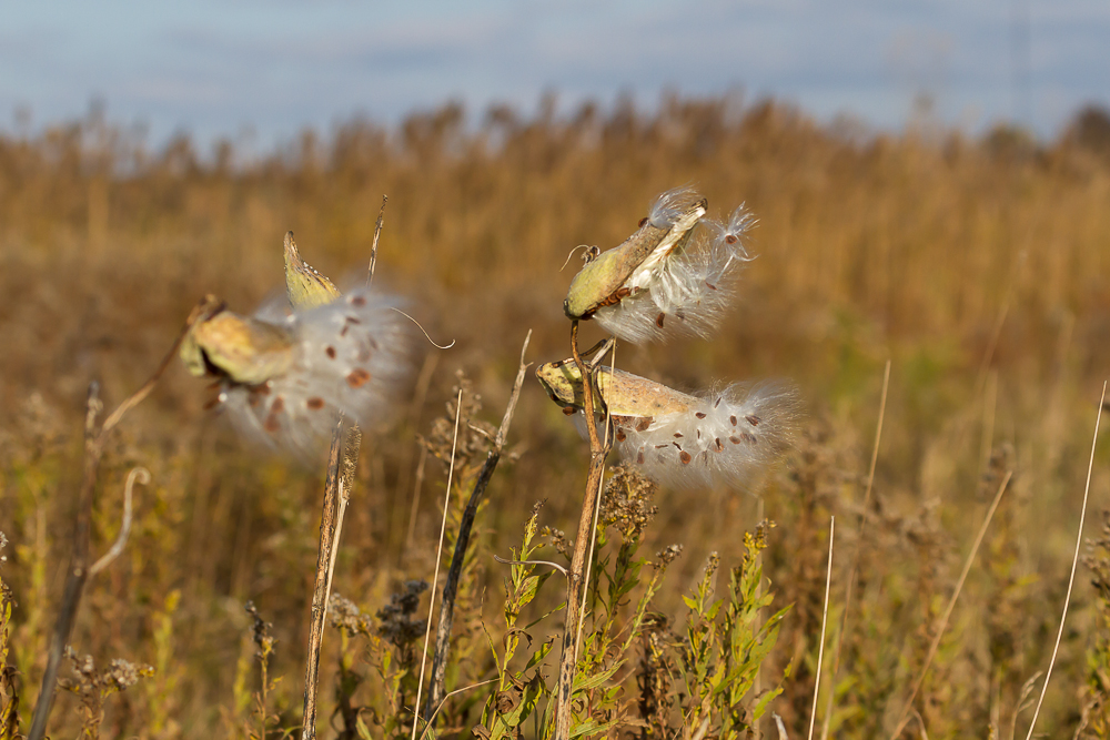 Milkweed seeds can easily be gathered and planted in the fall.