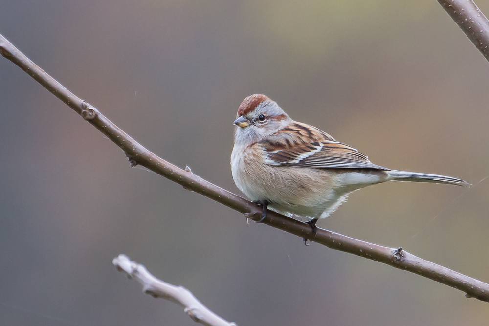 American Tree Sparrows are one of several songbirds present only during the winter in our area.