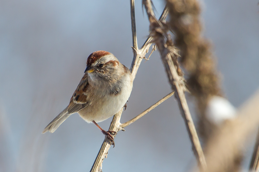 The winter range of the American Tree Sparrow includes Southwestern Ontario.