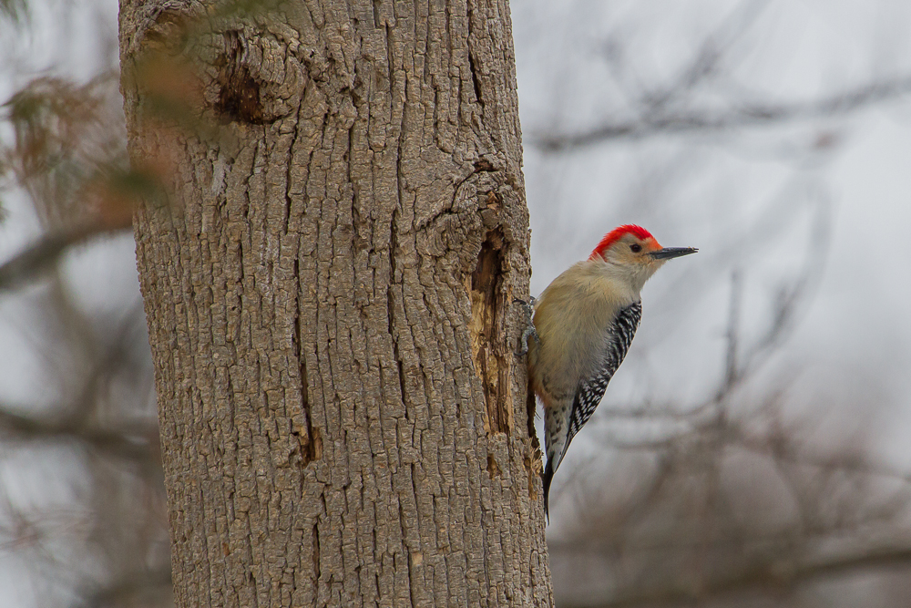 Red-bellied and other woodpeckers use their powerful beaks to excavate food from trees. The solid red crown indicates that this bird is a male.