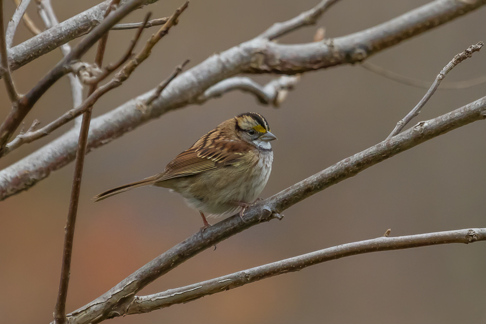 .White-Throated Sparrows can now be readily observed in our area.