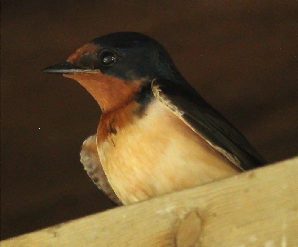 "This Barn Swallow was photographed perched on the same 1 3/4"" wide rafter as its nest sits on. A narrow ledge is all that is required for these birds to nest."