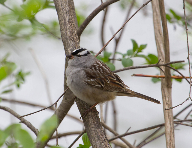 White-Crowned Sparrows are another species that breed far to our north, but overwinter throughout the area.