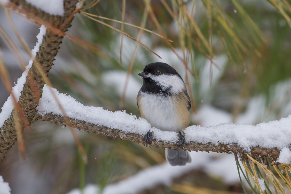 Cold temperatures and a dusting of snow had birds like this Black-capped Chickadee seeking food and shelter.