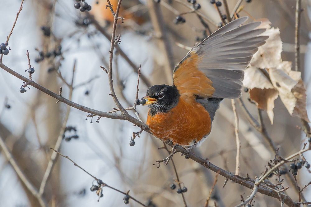 Berries from the Common Buckthorn tree, an invasive species in Ontario, are a popular food of the American Robin during winter.