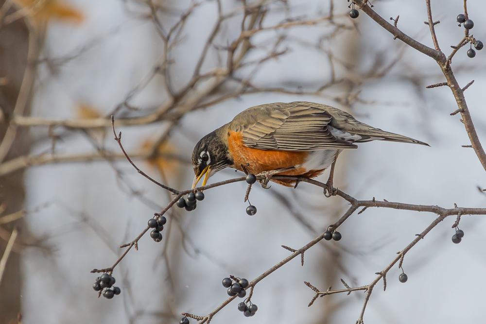 IMG 5305 1 - American Robin: A Sign Of Spring, Or Elusive Winter Resident?