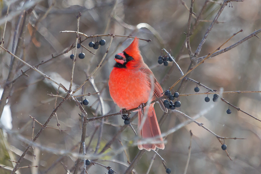Male Northern Cardinal feeding on a Common Buckthorn berry.