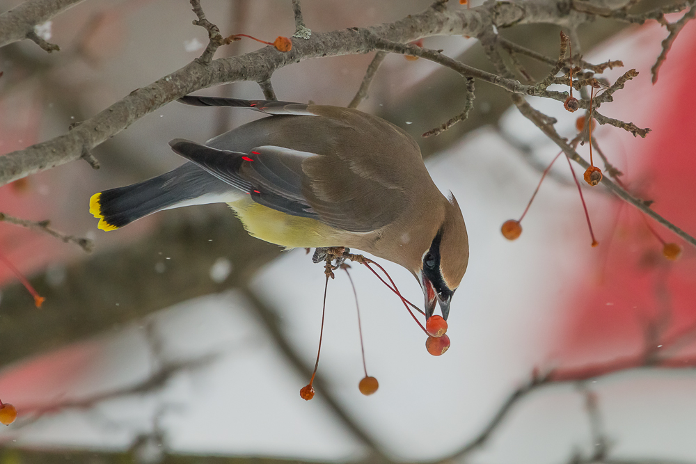 The brilliant red wing feathers of the Cedar Waxwing often go overlooked unless viewed from close range.