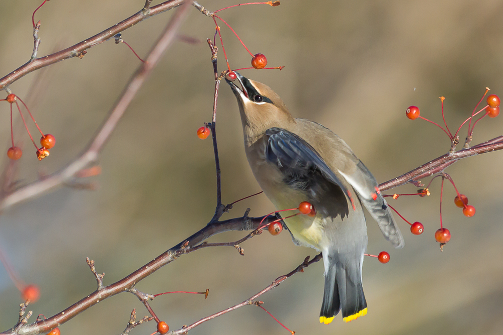 The diet of a Cedar Waxwing consists solely of berries during winter months.
