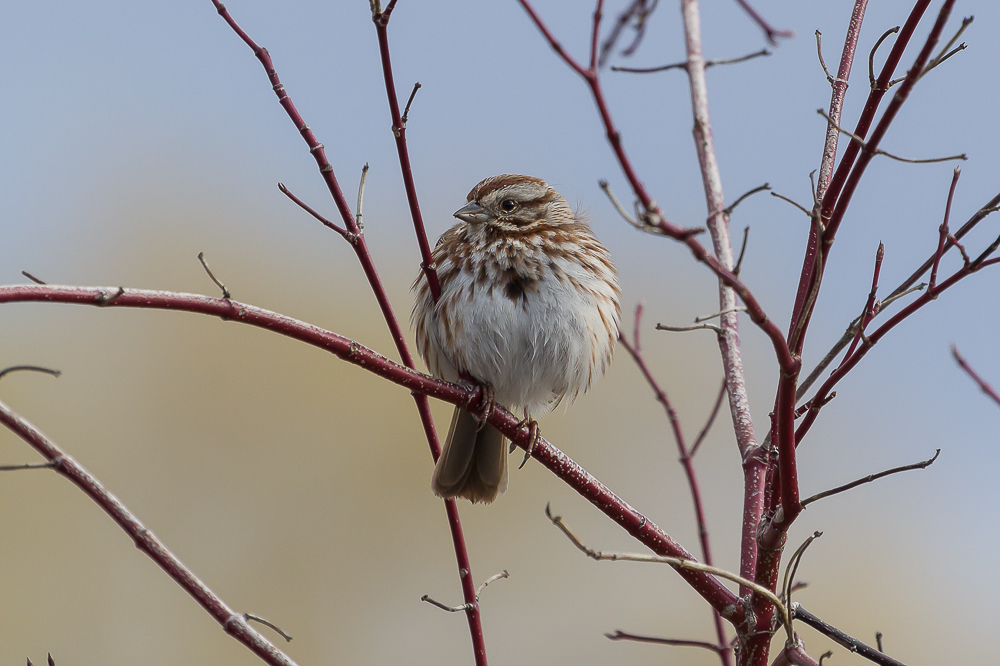 Song Sparrows can also be found year round in Southwestern Ontario.