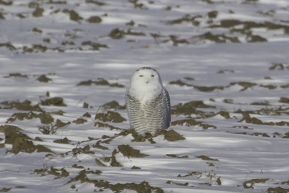 This Snowy Owl, photographed last winter, demonstrates how well camouflaged they are in a snow covered field. Increased sightings and a lack of snow make now the perfect time to search for these owls.