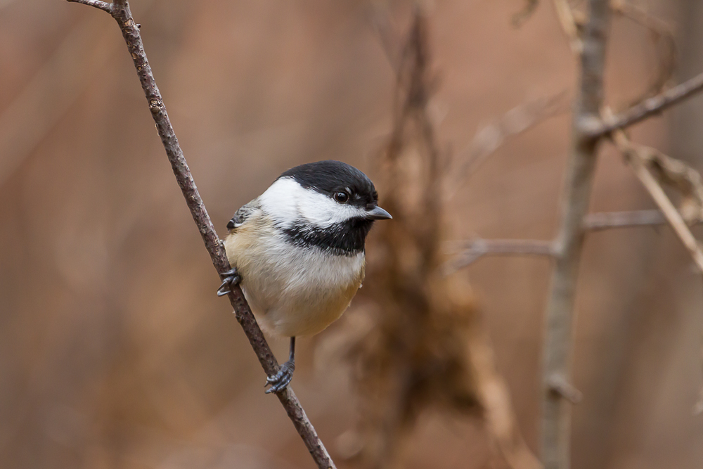 Black-capped Chickadee. 1/200th second ISO 800 f5.6 at 400mm