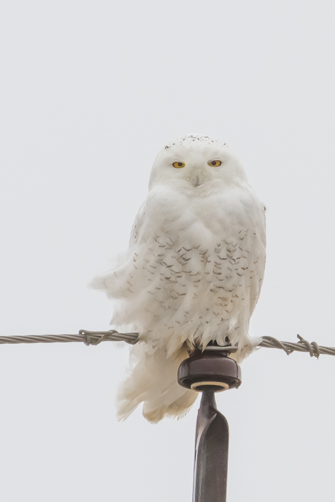 When searching for Snowy Owls it is important to look high and low. These owls often perch on hydro poles, fence posts, agricultural buildings, and even on the ground.