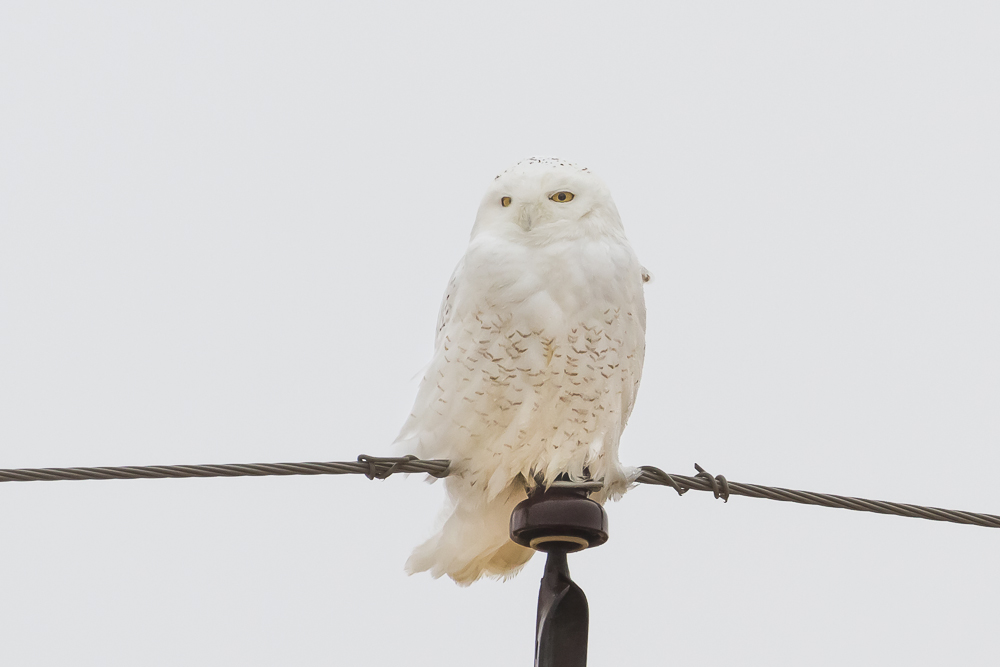 One of three Snowy Owls I located in an area where these birds typically overwinter.