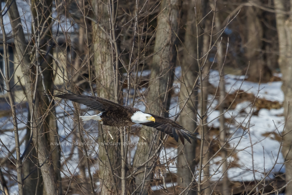 Great opportunities for viewing Bald Eagles along the Thames River are currently taking place. Winter months are my favourite for eagle watching in the city.