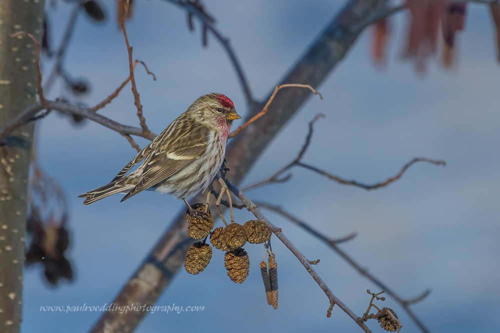Male Common Redpoll perched on a cluster of alder catkins.