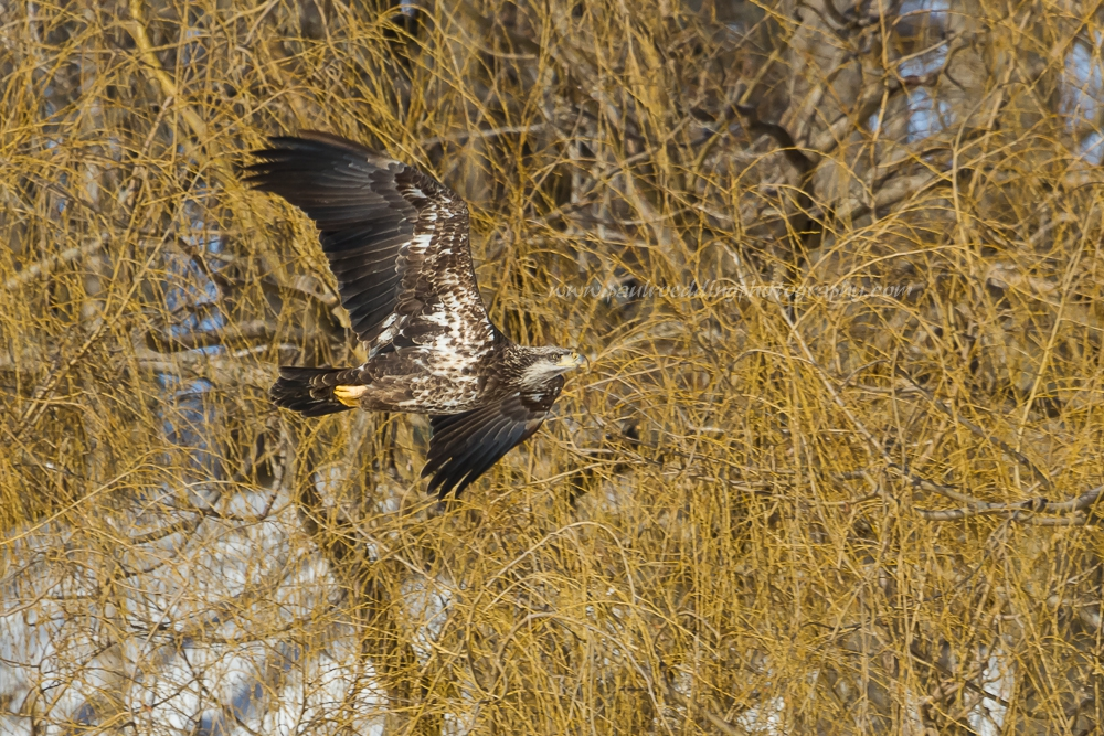 The mottled plumage shown here is indicative of a juvenile Bald Eagle in its 2nd or 3rd year.