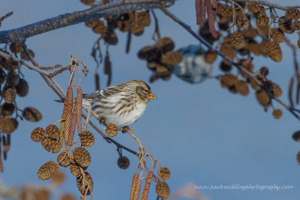 Female Common Redpolls can easily be confused with Pine Siskins or House Finches. Paying close attention to the yellow bill and red forehead will ensure proper identification.