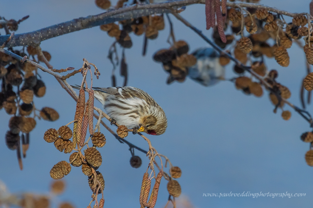 Seeds are the main source of food for redpolls. Here a female Common Redpoll prepares to extract a seed from an alder catkin.