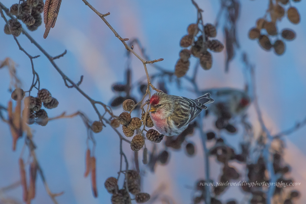 The rosy feathers on the neck and breast of this Common Redpoll indicate it is a male. The lack of red on the rump, smaller size, and black feathers surrounding the yellow bill distinguish it from the male House Finch.