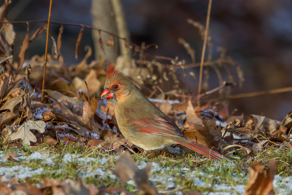 Black oil sunflower seeds are a favourite of many birds, including Northern Cardinals.