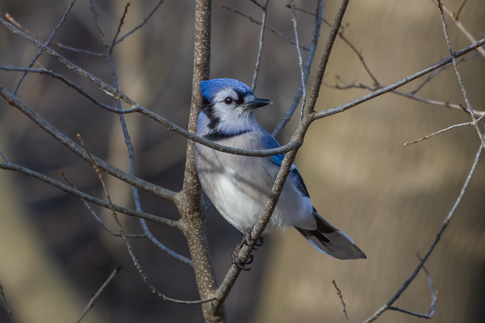 Blue Jays are one of the many colourful birds easily attracted to a backyard feeder.