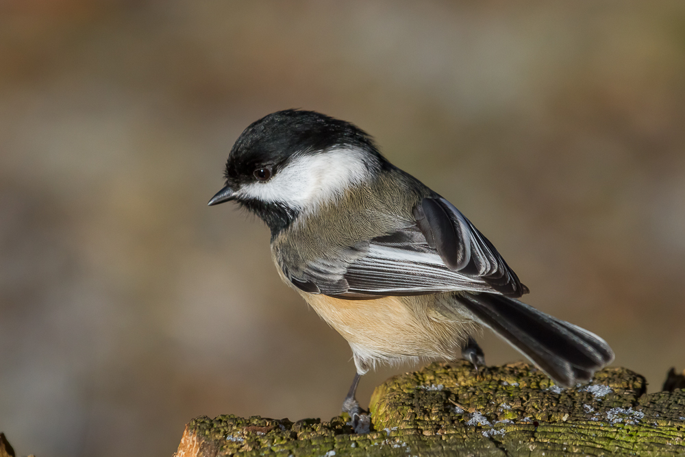 Black-capped Chickadees are one species that huddle in groups for warmth and will benefit from a roost box.