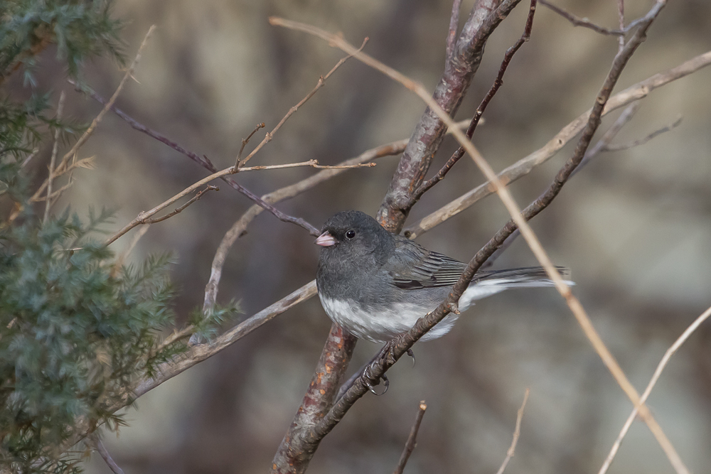 Dark-eyed Juncos are a species found in our area during winter months. They are a common backyard visitor that often feeds on the ground, cleaning up seeds spilled by other birds.