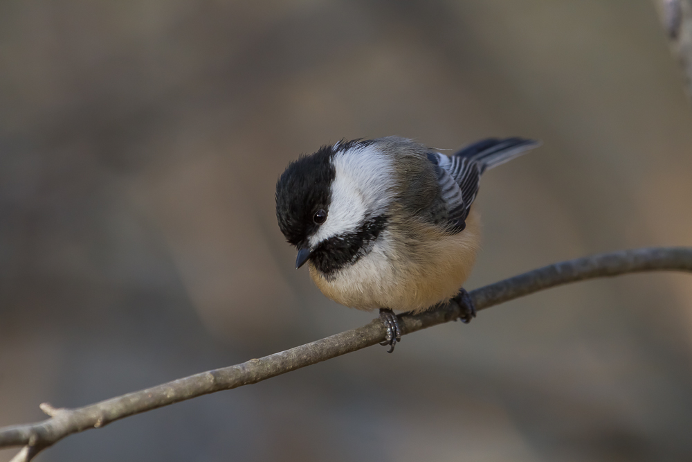 The added reach and increased auto focus speed are what I deem the two biggest advantages in a lens upgrade. This Black-capped Chickadee was photographed using the Canon EF 100-400mm f/4.5-5.6L IS USM lens. Retail price $1499.00