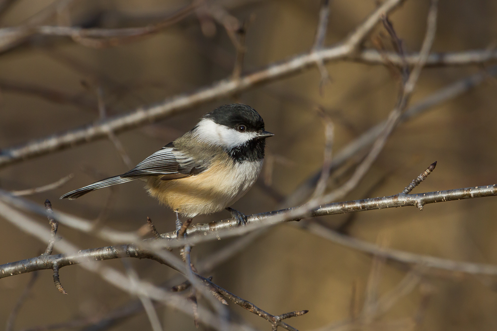 This Black-capped Chickadee was photographed using a Canon EF100-400mm f/4.5-5.6L IS USM lens, my go to lens for bird photography. Is a lens of this cost necessary to achieve acceptable results?