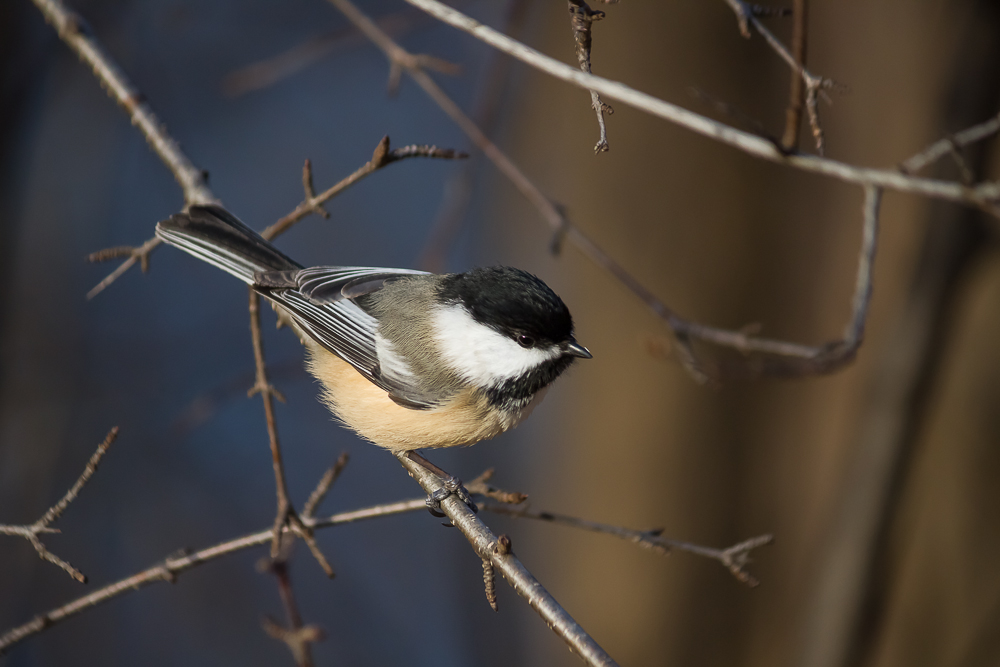 Black-capped Chickadee perched on a leafless branch.