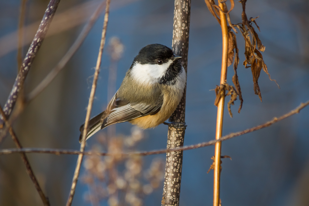 Taking the time to understand your camera's functions and perfecting your skill is more advantageous than spending thousands of dollars on a new lens. This Black-capped Chickadee was photographed using a Canon EFS 55-250mm f/4-5.6 IS II Kit lens.