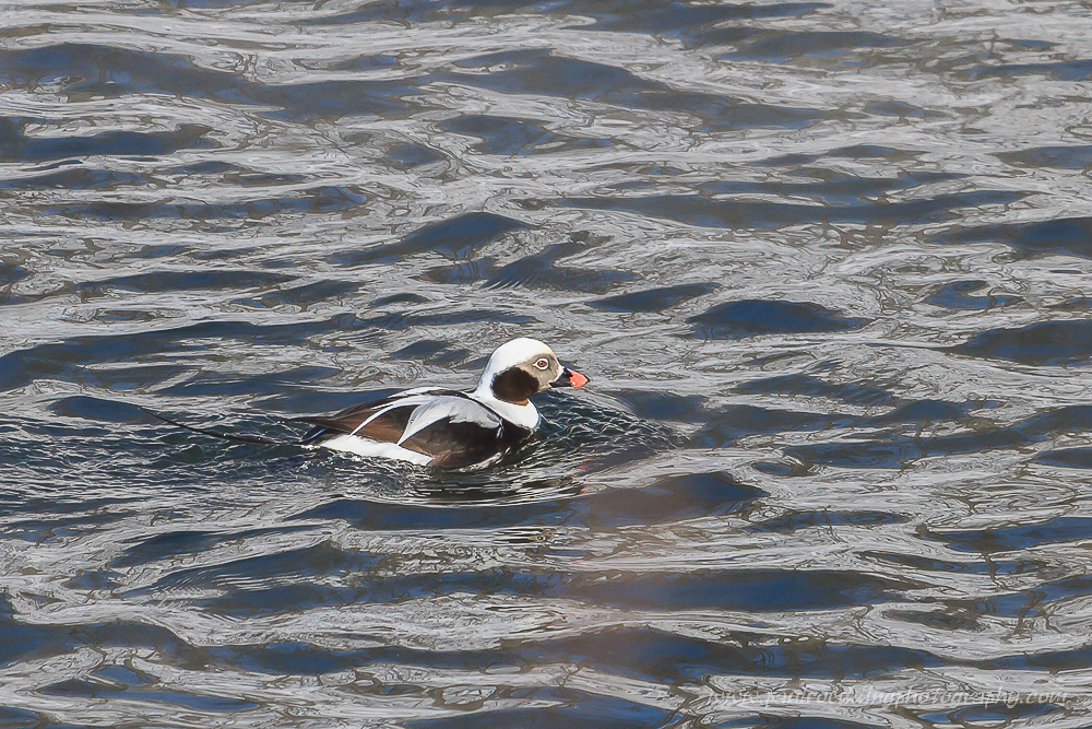 This male Long-tailed Duck was observed slightly downstream from the location where the Harlequin Duck has been frequenting.